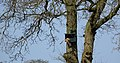 Torenvalk (33057164553).jpg