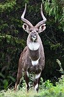 Tragelaphus angasii Nyala  The IUCN Red List of