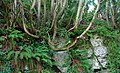 Tree, Glenoe Glen - geograph.org.uk - 635260.jpg