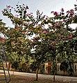 Tree I IMG 2075.jpg