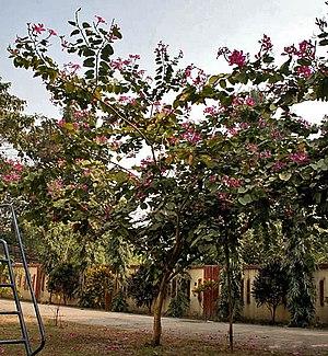 Bauhinia × blakeana - Image: Tree I IMG 2075