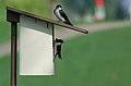 Tree Swallows (139532726).jpg