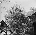 Tree at Baxter Place (3573804048).jpg