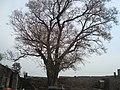 Tree at Temple Complex, Kangra Fort.JPG