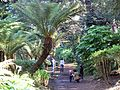 Tree ferns Golden Gate Park, San Francisco.JPG