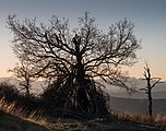 Treviño - Cerro de Treviño - Quercus faginea 03.jpg