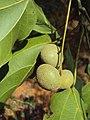 Trewia nudiflora 04.JPG