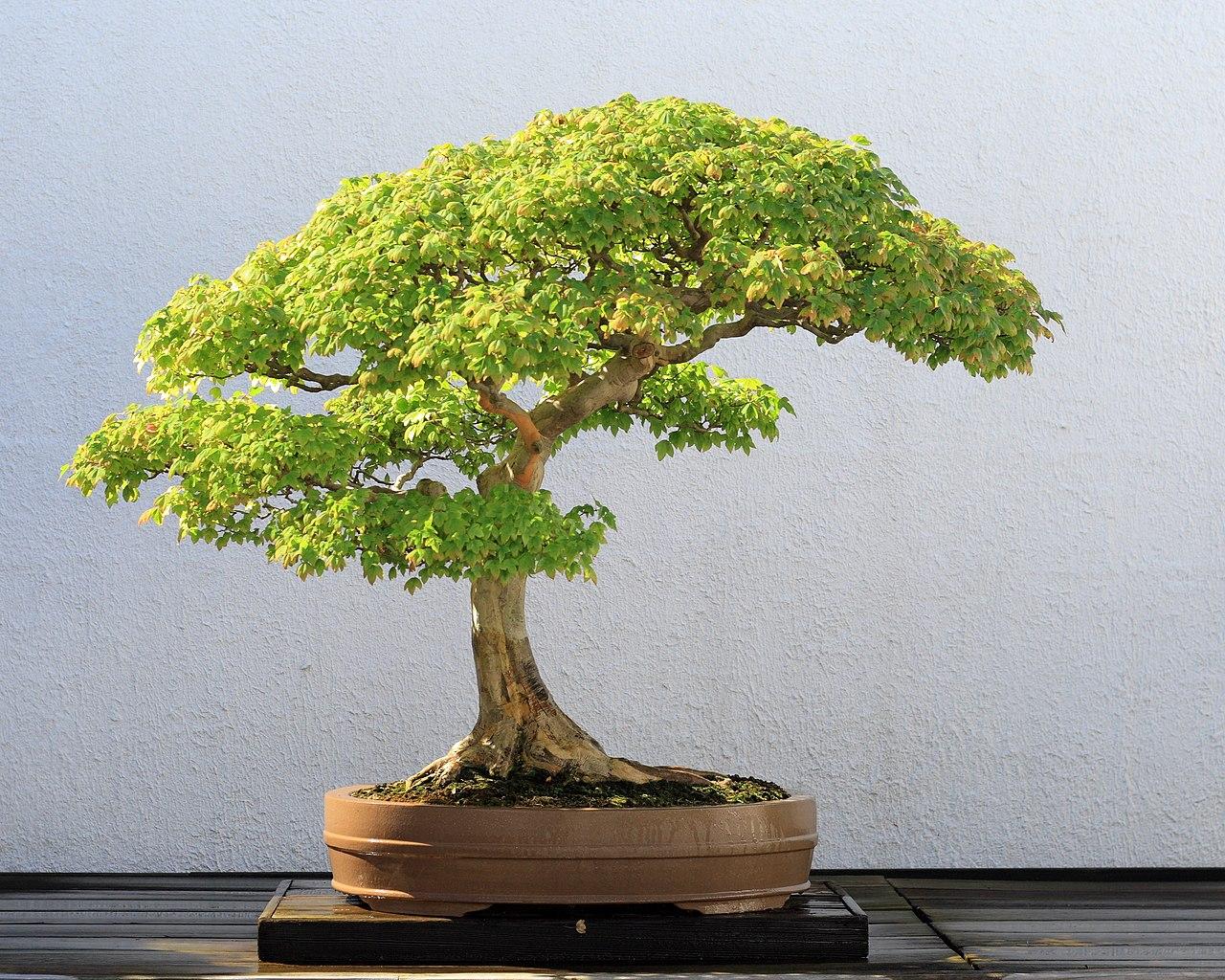 File trident maple bonsai 52 october 10 for Alberelli ornamentali