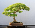 Trident Maple bonsai 52, October 10, 2008.jpg