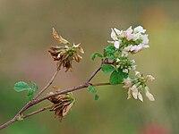 Trifolium nigrescens Corse2