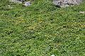 Trollius japonicus (Mount Shirouma).JPG