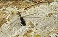 Trollsländor Dragonfly (31145615241).jpg