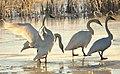 Trumpeter Swans at Sunrise on Seedskadee NWR (23457751770).jpg