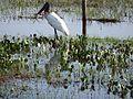 Tuiuiú no Pantanal.JPG