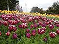 Tulip (127).JPG