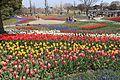 Tulip in Kiso Sansen Park Center.jpg