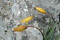 Tulipe méridionale.jpg