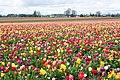 Tulipfarm.jpg
