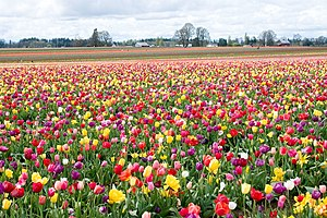 Tulip Festival in Woodburn, Oregon.