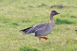 Anser (bird) - Image: Tundra Bean Goose
