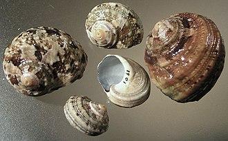 Turbo sarmaticus - Shells of Turbo sarmaticus