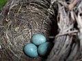 Turdus Merula nest with eggs.jpg