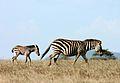 Two zebra.JPG