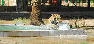 Baghdad Zoo - Hope playing in her new pool