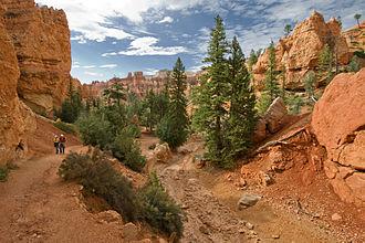 Pseudotsuga menziesii var. glauca - Rocky Mountain Douglas-fir and ponderosa pine, Bryce Canyon National Park, Utah