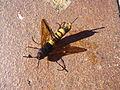 Unbekanntes Insekt 05.09.2013 1.JPG