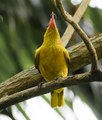 Underside and breast of a Black-naped Oriole.tif