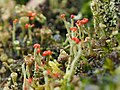 Unidentified Cladonia (rotfrüchtige Becherflechte) (1).JPG