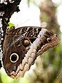 Unidentified butterfly 20100411- DSC5293 (4871704395).jpg