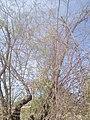Vachellia farnesiana by Prahlad balaji 3.jpg