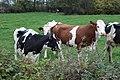 Vaches pré routes Bourg Isle St Cyr Menthon 11.jpg