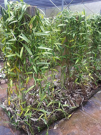 Vanilla - Vanilla tahitensis in cultivation