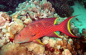 Variola (fish) - Variola louti