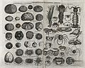 Various testaceous and crustaceous animals, including sea ur Wellcome V0022036.jpg