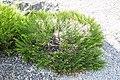 Veronica salicornloides in Christchurch Botanic Gardens 02.jpg