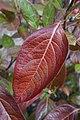 Viburnum nudum 'Winterthur' (Cultivar of Possumhaw Viburnum) 565-2016*G (37501585222).jpg