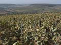 Vignes (Coteaux de Festigny.51) Cl.J.Weber04 (23050617013).jpg