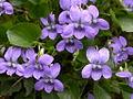 Viola alba (15301563809).jpg