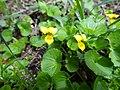 Viola biflora L. (7582920128).jpg