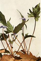 Viola palmata WFNY-134A.jpg