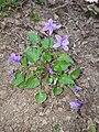 Viola reichenbachiana sl1.jpg