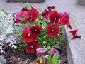 Viola tricolor14.jpg