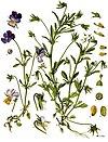 Viola tricolor - Köhler–s Medizinal-Pflanzen-280.jpg