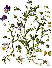 220px viola tricolor köhler