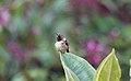 Volcano Hummingbird (Selasphorus flammula) (5771940231).jpg