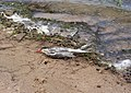 Włocławek-bird killed by poachers.jpg